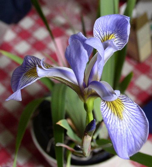 http://sd3.archive-host.com/membres/images/1336321151/fleurs/iris/irisdo.jpg